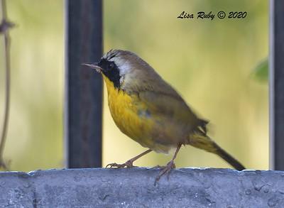 Common Yellowthroat  - 12/22/2020 -  Backyard, Sabre Springs