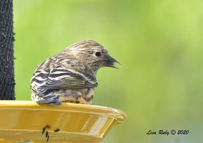 Pine SIskin - 11/9/2020 - Backyard Sabre Springs