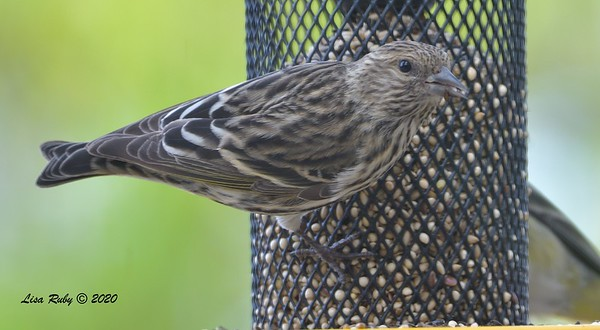 Pine SIskin  - 11/22/2020 - Backyard Sabre Springs