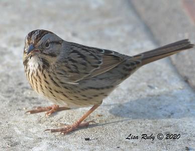 Lincoln's Sparrow  - 12/22/2020 -  Backyard, Sabre Springs