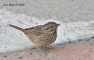 Lincoln's Sparrow   - 12/9/2020 -  Backyard, Sabre Springs