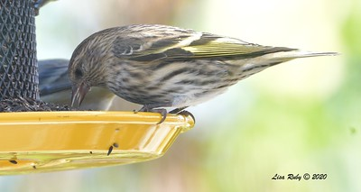 Pine SIskin - 11/10/2020 - Backyard Sabre Springs