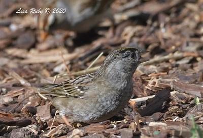 Golden-crowned Sparrow  - 12/14/2020  Backyard, Sabre Springs