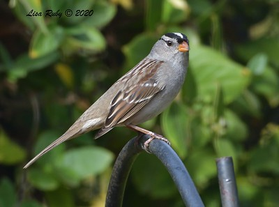 White-crowned Sparrow  - 11/22/2020 - Backyard Sabre Springs