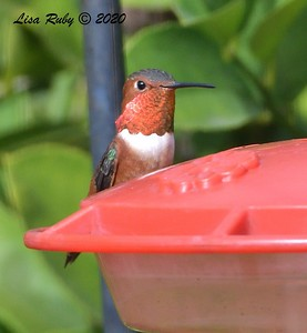 Allen's Hummingbird  - 11/22/2020 - Backyard Sabre Springs