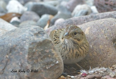 Lincoln's Sparrow  - 10/27/2020 - Backyard Sabre Springs