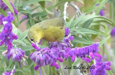 Orange-crowned Warbler 12/17/2020  Backyard, Sabre Springs