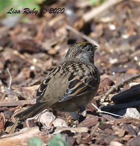 Golden-crowned Sparrow  Backyard, Sabre Springs