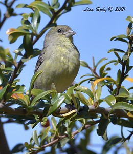 Lesser Goldfinch - 2/28/2021  - Backyard Sabre Springs