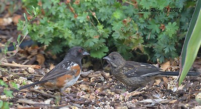 Juvenile and Adult Spotted Towhees - 7/22/2021 - Sabre Springs Backyard