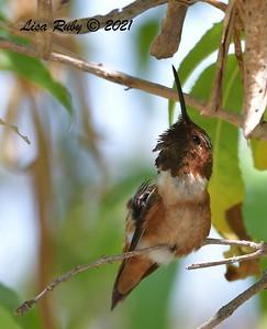 Allen's Hummingbird - 7/25/2021 - Sabre Springs Backyard
