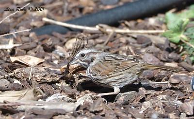 Song Sparrow - 03/22/2021  - Backyard Sabre Springs