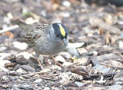 Golden-crowned Sparrow  - 4/24/2021 - Backyard, Sabre Springs