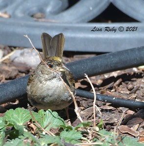 Golden-crowned Sparrow - 03/22/2021  - Backyard Sabre Springs