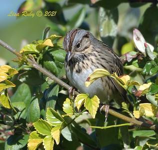 Lincoln's Sparrow - 01/24/2021 - Backyard Sabre Springs