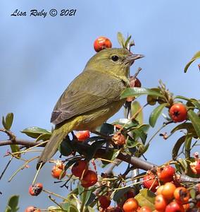 Orange-crowned Warbler - 2/28/2021  - Backyard Sabre Springs