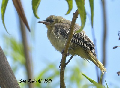 Recently Fledged Hooded Oriole - 7/4/2021 - Sabre Springs Backyard