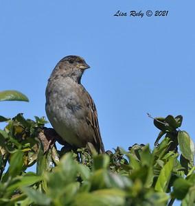 Golden-crowned Sparrow  - Backyard Sabre Springs