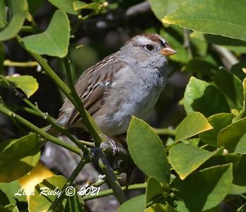 White-crowned Sparrow - 2/28/2021  - Backyard Sabre Springs