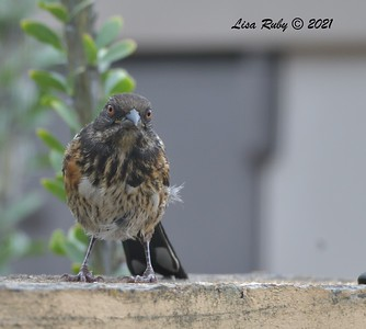Immature Spotted Towhee - 7/25/2021 - Sabre Springs Backyard