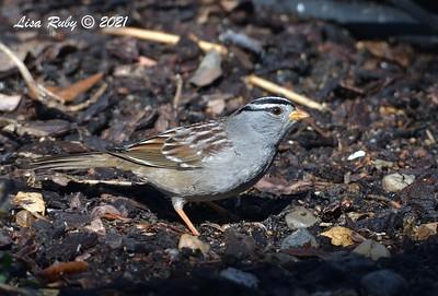 White-crowned Sparrow - 1/24/2021 - Backyard, Sabre Springs