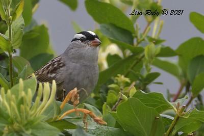 Dark-lored (oriantha) White-crowned Sparrow - 4/22/2021 - Backyard