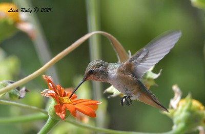 Allen's Hummingbird - 7/24/2021 - Sabre Springs Backyard