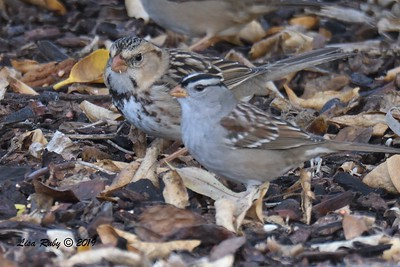 Harris's and White-crowned Sparrows - 12/1/2018 - Backyard Sabre Springs
