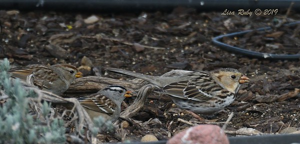 Harris's and White-crowned Sparrows - 2/12/2019 - Backyard Sabre Springs