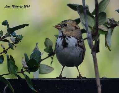 Harris's Sparrow - 12/12/2018 - Backyard Sabre Springs