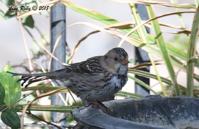 First year Harris's Sparrow - 11/23/2019 - Backyard Sabre Springs
