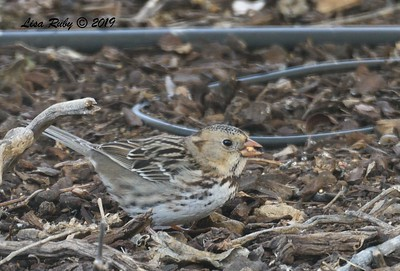 Harris's Sparrow - 1/2/2019 - Backyard Sabre Springs
