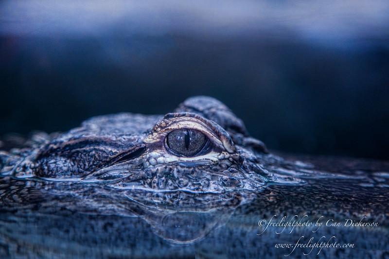 Crocodile wm