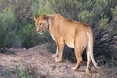 Lioness stalking through the Brush
