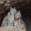 Bobcat Duo