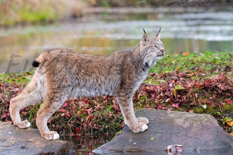 Canada Lynx in the Fall