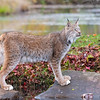 Canada Lynx in the Fall