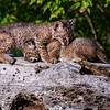 Bobcat Kittens at Play