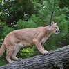 Female Mountain Lion scaling a Fallen Tree