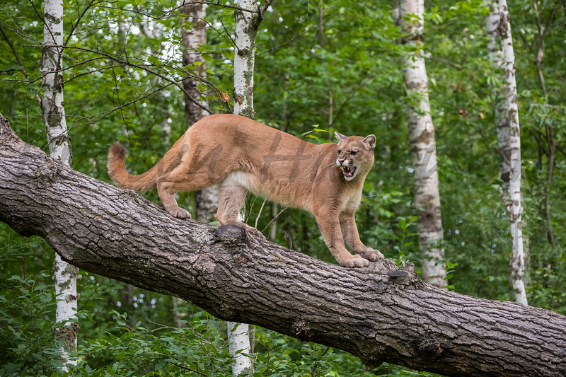 Mountain Lion in the Birches