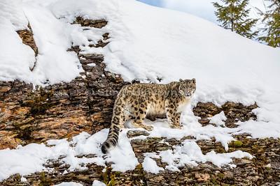 Snow Leopard 0441