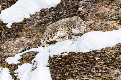 Snow Leopard 0420