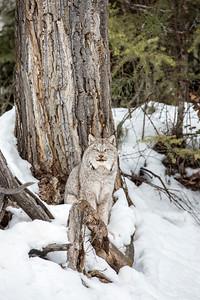 Canada Lynx 0144
