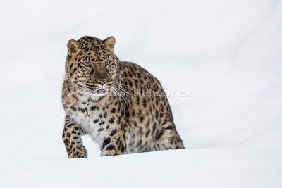 Amur Leopard 0189
