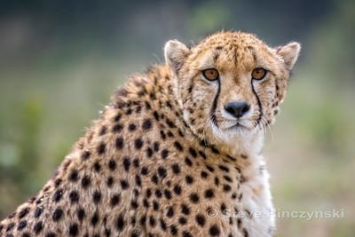 Cheetah 1873