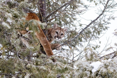 Mountain Lion 0249