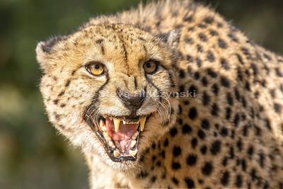 Cheetah 2053