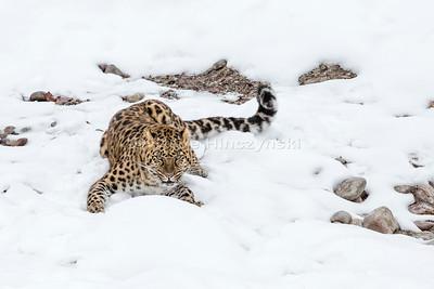 Amur Leopard 16-0169