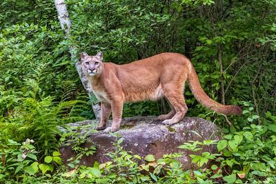 Mountain Lion 0520