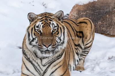 Bengal Tiger 0024